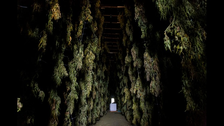 Clear links between illegal marijuana grows in Southern Oregon and Mexican cartels